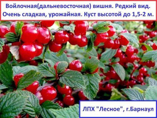 О вишне Путинка: описание и характеристики сорта, посадка и уход , опыление