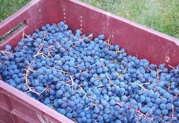 Описание сорта винограда Зилга, характеристики, преимущества и недостатки