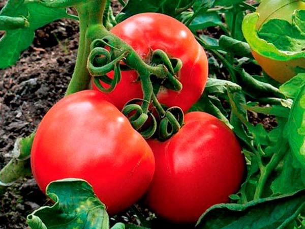 Видимо-невидимо: описание сорта томата, характеристики помидоров, посев