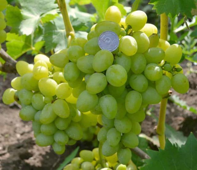 Описание сорта винограда Надежда Аксайская, основные характеристики и особенности