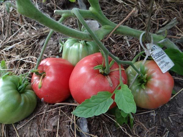 О томате Фиделио: описание сорта, характеристики помидоров, посев