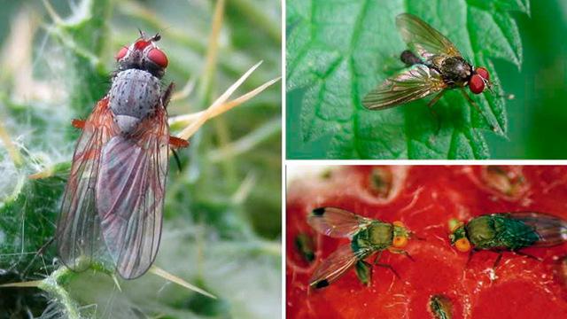 О жуке малинном (малиновом) и других вредителях: методы борьбы и профилактики