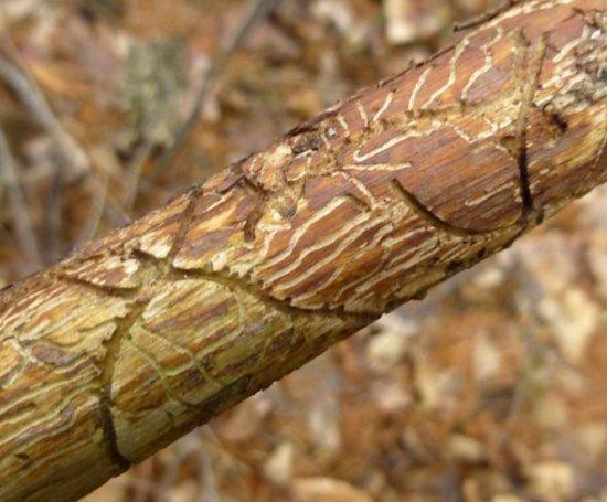 О войлочной вишне: как выглядит, почему засыхает, рекомендации по уходу