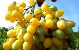 Подарочный: описание сорта томата, характеристики помидоров, посев