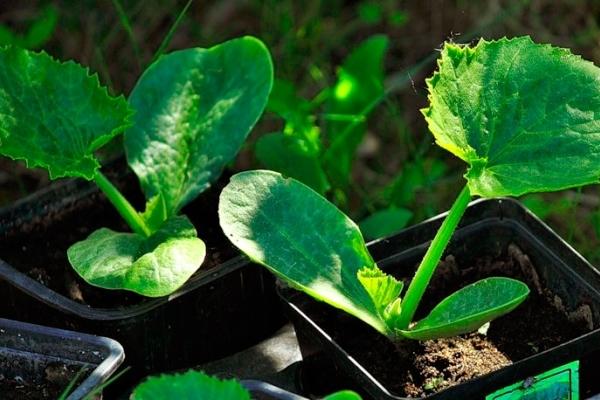 Все о сорте кабачка Черный Красавец: посадка и уход, особенности выращивания
