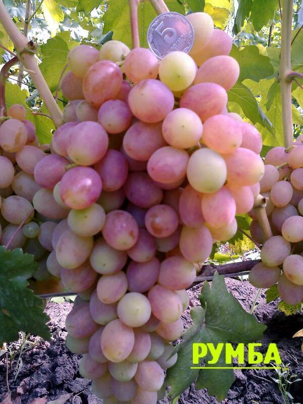 Описание сорта винограда Румба: характеристика, особенности содержания