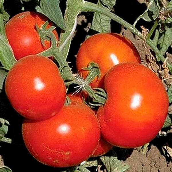 Анюта: описание сорта томата, характеристики помидоров, посев