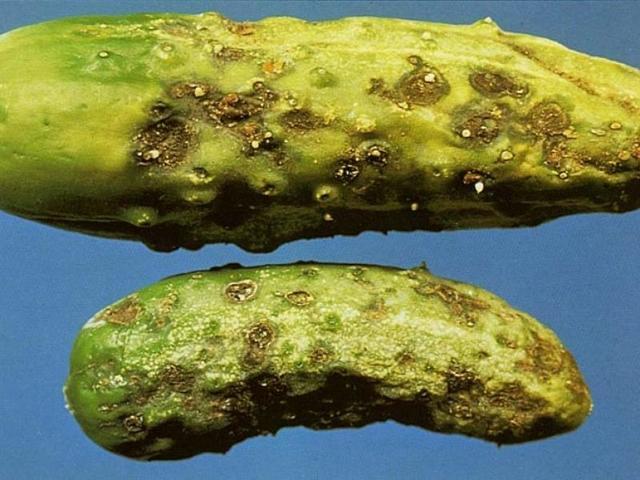 О болезнях и вредителях огурцов: способы лечения и борьбы, профилактика