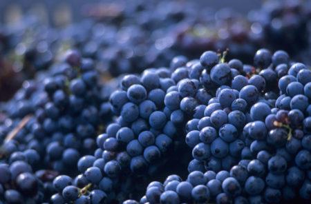 Фиолетовый ранний сорт винограда: описание, уход, особенности разведения