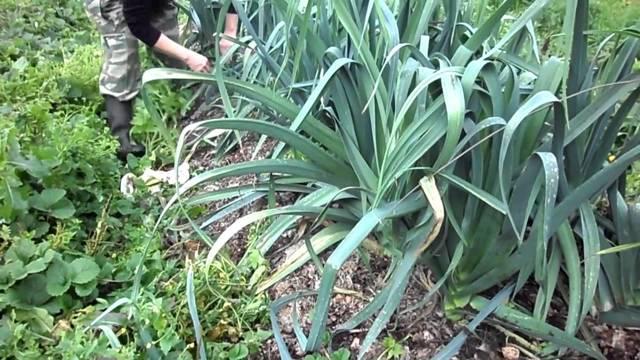 Все о луке порей: как он выглядит, сорта, как выращивать, многолетний или нет