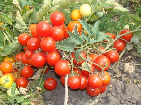 О томате Детская радость: описание сорта, характеристики помидоров, посев