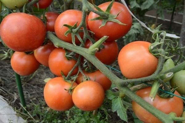 О томате Турмалин: описание сорта, характеристики помидоров, посев
