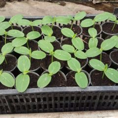 О выращивании хорошего урожая огурцов (секреты увеличения плодоношения)