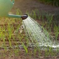 Все о сорте лука Купидо: посадка и уход, особенности выращивания, урожайность
