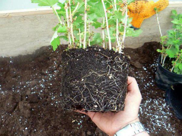 Как и где лучше посадить крыжовник весной: пошаговое руководство