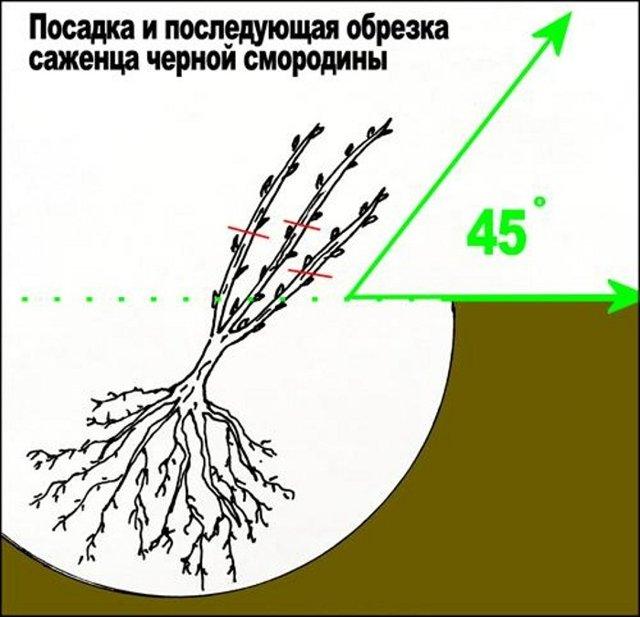 Смородина Ядреная: описание и характеристики сорта, посадка и уход