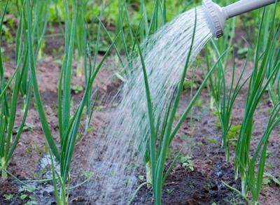Все о сорте лука Сеттон: посадка и уход, особенности выращивания, урожайность
