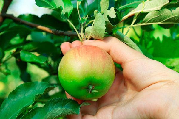 О яблоне Серебряное копытце: характеристики сорта, посадка, подкормка, уход