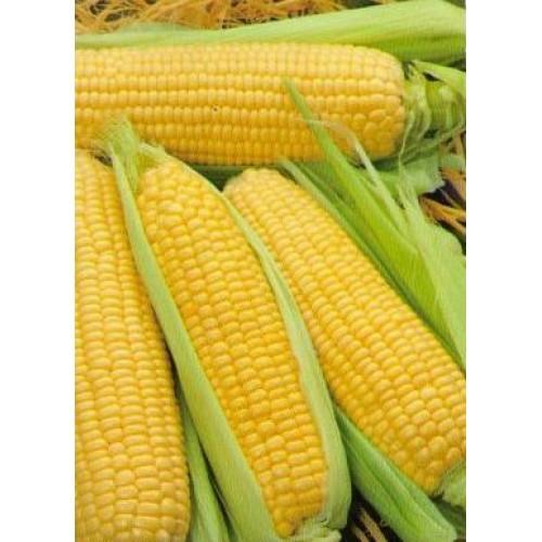 О лучших сортах кукурузы: описание и характеристики, посадка, уход, выращивание