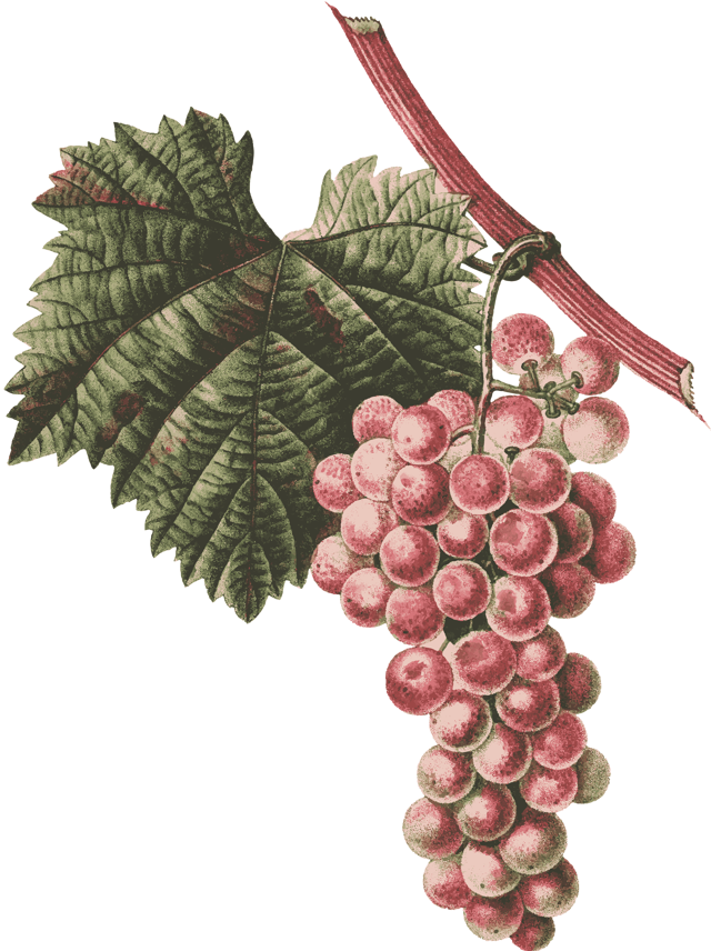 Выращивание и уход за виноградом сорта Тукай, преимущества и недостатки