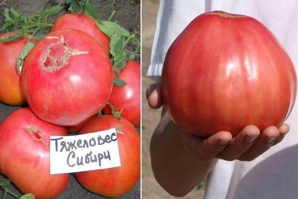 Тяжеловес Сибири: описание сорта томата, характеристики помидоров, посев