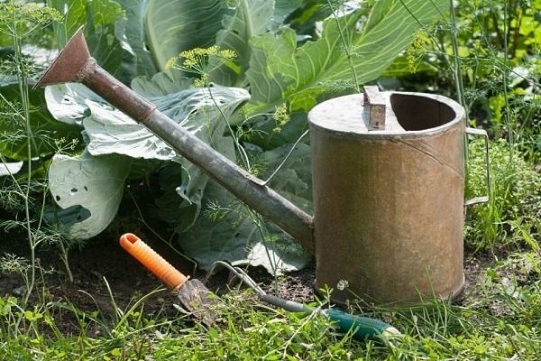 О капусте Амагер: характеристика и описание белокочанного сорта, как посадить