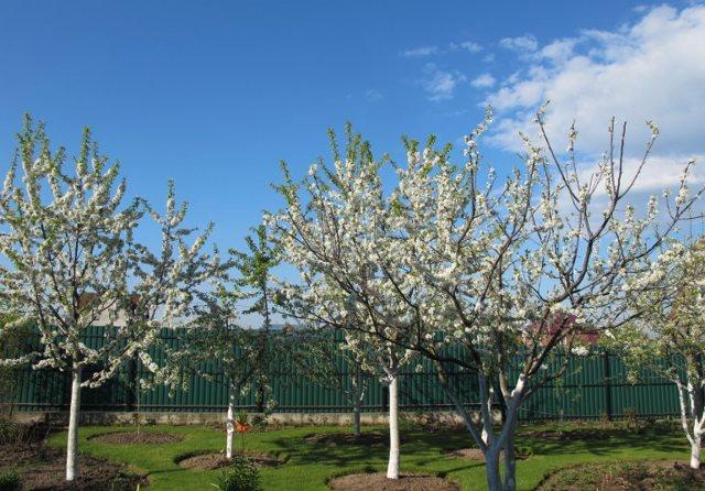 Что можно сажать рядом с вишней, совместимость, соседство: яблоня, слива