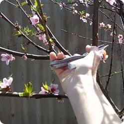 Декоративный кустарник миндаль: посадка растения и уход за ним