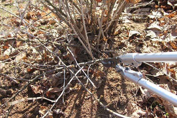 Крыжовник: правила посадки, ухода и выращивания, подготовка к зиме