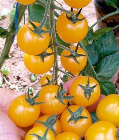Вишня желтая: описание сорта томата, характеристики помидоров, посев
