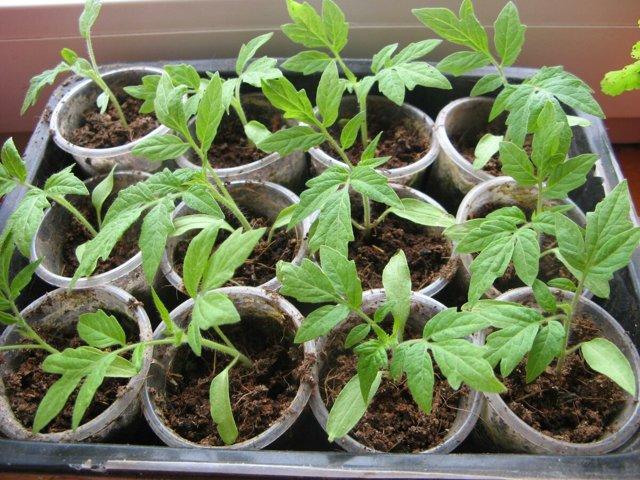 Спрут: описание сорта томата, характеристики помидоров, выращивание