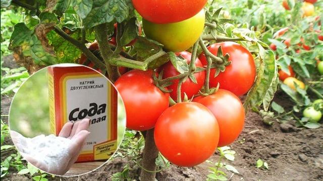 Питьевая сода для рассады томатов и огурцов: как опрыскивать, поливать и удобрять
