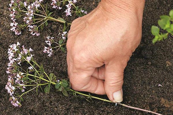 Как вырастить душицу: посев и уход за растением, условия для хорошего роста