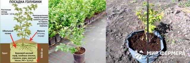 Выращивание голубики в Подмосковье: посадка и уход, лучшие сорта