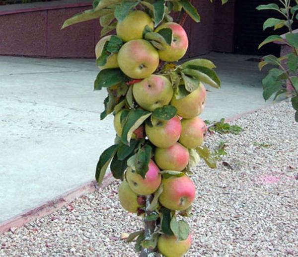 О яблоне колоновидной Президент: характеристики сорта, посадка и уход