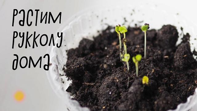 Как вырастить рукколу: посев и уход за растением, условия для хорошего роста