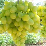 Описание сорта винограда Ливия: характеристики, особенности, рекомендации по уходу