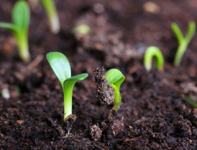 Через сколько дней всходят огурцы: когда ожидать первых ростков культуры
