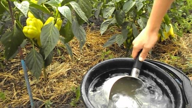 Нашатырный спирт для болгарского перца: как подкормить, удобрить, обработать культуру