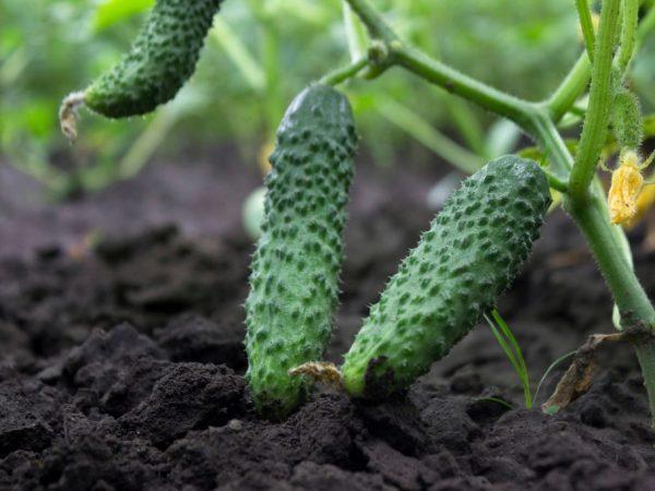 Об огурце Вятич: описание сорта, характеристики, технология выращивания