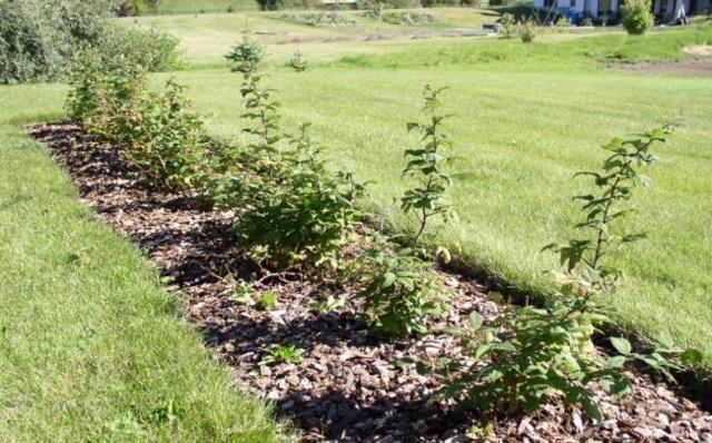 Как ухаживать за малиной весной: советы по выращиванию бывалых садоводов