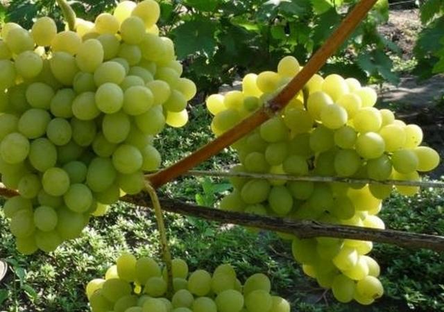 О винограде Августин: описание и характеристики сорта, посадка и уход