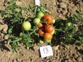 Выращивание томатов в открытом грунте в Подмосковье: когда сажать и как выращивать