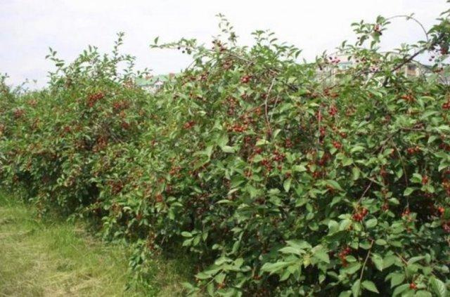 О вишне десертной Морозовской: описание и характеристики сорта, посадка и уход