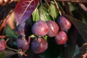 О яблоне Роялти: описание сорта, характеристики, агротехника, выращивание