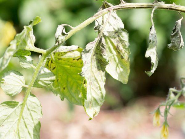 Кладоспориоз томата: способы борьбы и препараты, лечение бурой пятнистости листьев