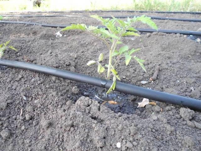 О томате Сердце буйвола: описание сорта, характеристики помидоров, посев
