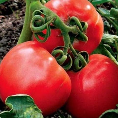 Толстушка: описание сорта томата, характеристики помидоров, посев