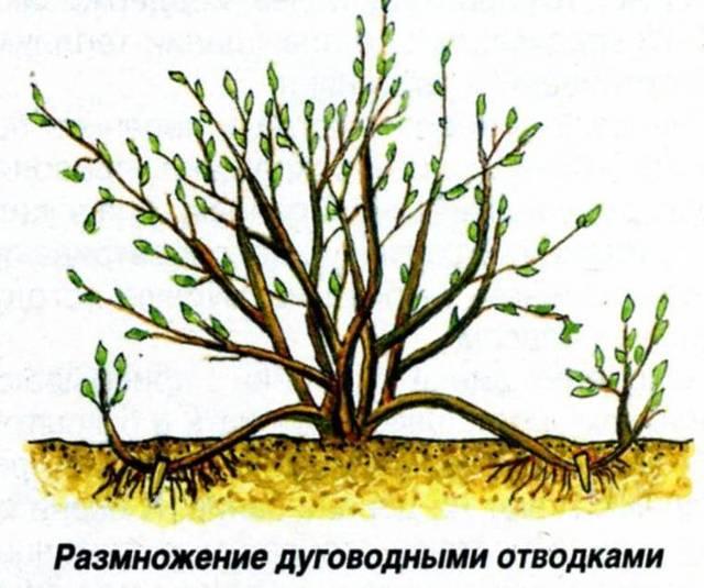 Как размножить крыжовник черенками весной: посадка и выращивание