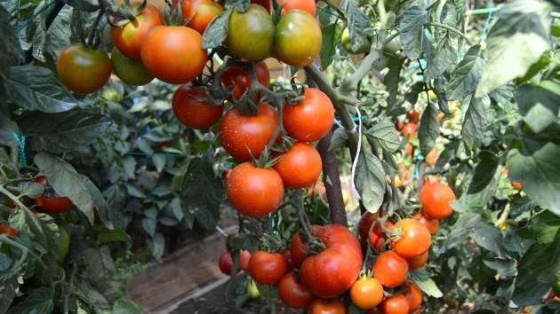 Клуша: описание сорта томата, характеристики помидоров, выращивание